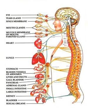 Perché è importante allineare la Colonna Vertebral Spinal_nerves_74_1.jpg (Art. corrente, Pag. 1, Foto normale)