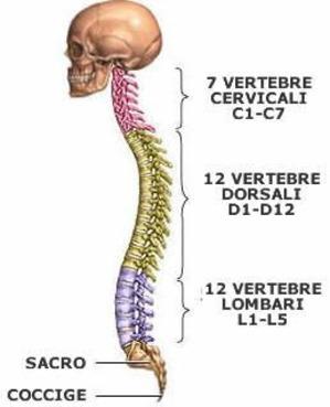 Colonna Vertebrale e le 5 Leggi Biologiche di Ham colonna_vertebrale_195_1.jpg (Art. corrente, Pag. 1, Foto normale)